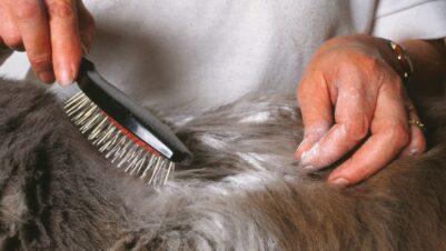 Brushing animal