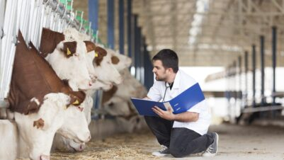 Vet checking on cows