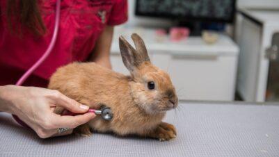 vet examining rabbit