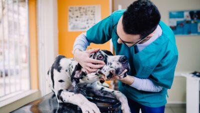 vet examining dog eye