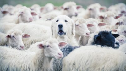 dog in flock of sheep